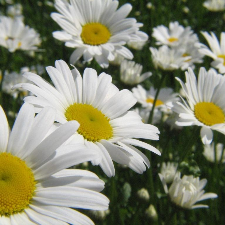 A close-up of several white daisies with yellow centers, amidst a field of grass and other daisies in the background.